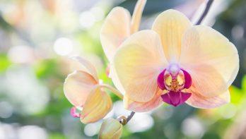De oorsprong van de orchidee