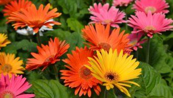 Plant van de maand: De gerbera