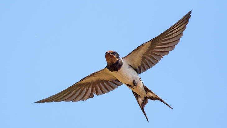 De bijzondere zwaluw