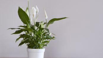 Lepelplant - Spathiphyllum