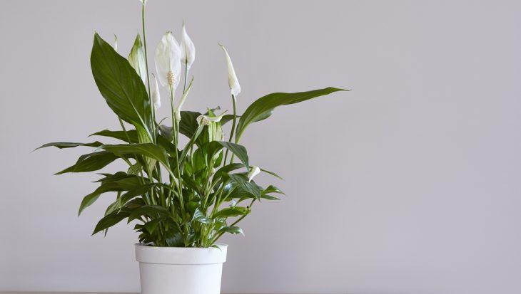 Lepelplant – Spathiphyllum