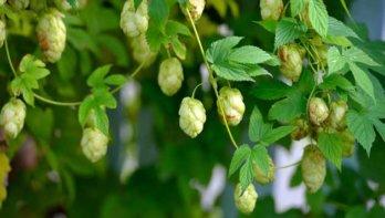 Hop Humulus lupulus