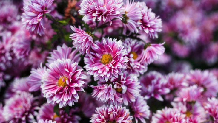 Chrysanthemum – chrysant