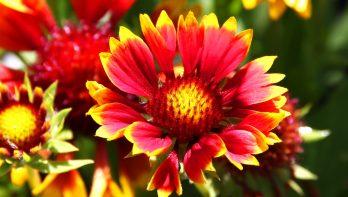 Gaillardia Gallo in de tuin van Easy Plant