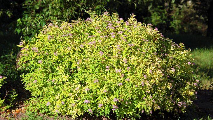 Lage bloeiende hagen