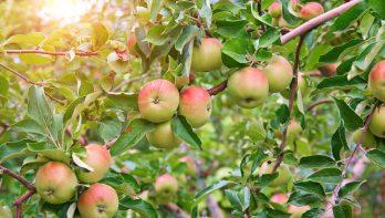 Adopteer een appelboom
