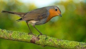 Roodborstje, het Christusvogeltje