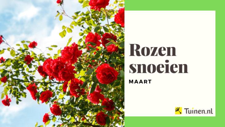 Video rozen snoeien in maart