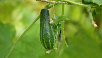 Snack komkommer Picolino van Easy Plant