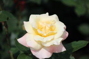 Apricot Queen Elizabeth, roos