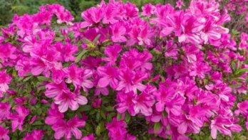 Bloeiende rododendrons zorgen voor spektakel