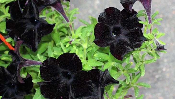 Zwarte planten de nieuwe trend