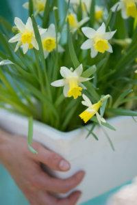 Narcis Topolino in bloembak