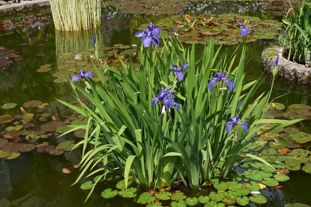 Iris laevigata, wateprlanten, vijver, planten, tuinen.nl
