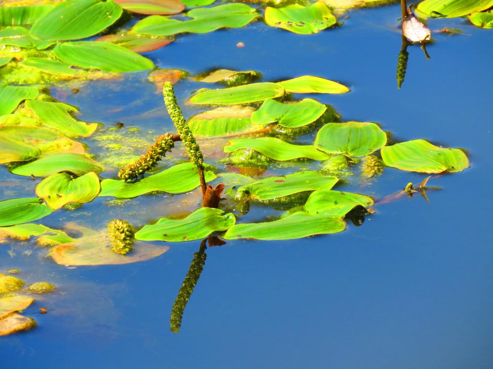 waterplanten, zuurstofplant, vijver, tuinen.nl