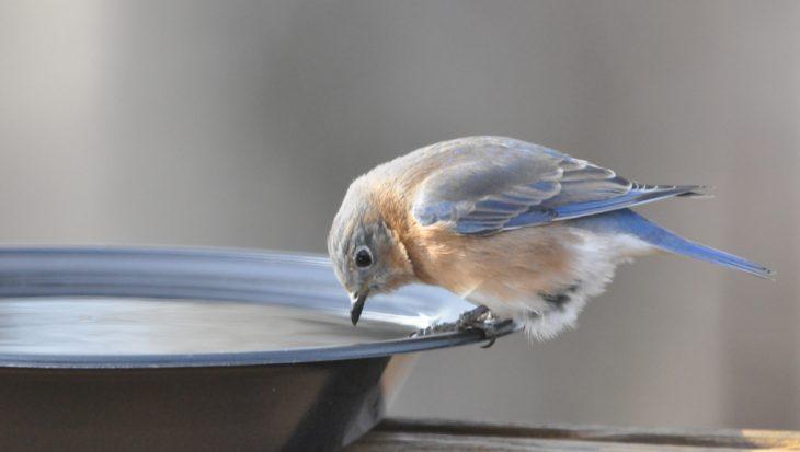 Vogels in de zomer helpen afkoelen