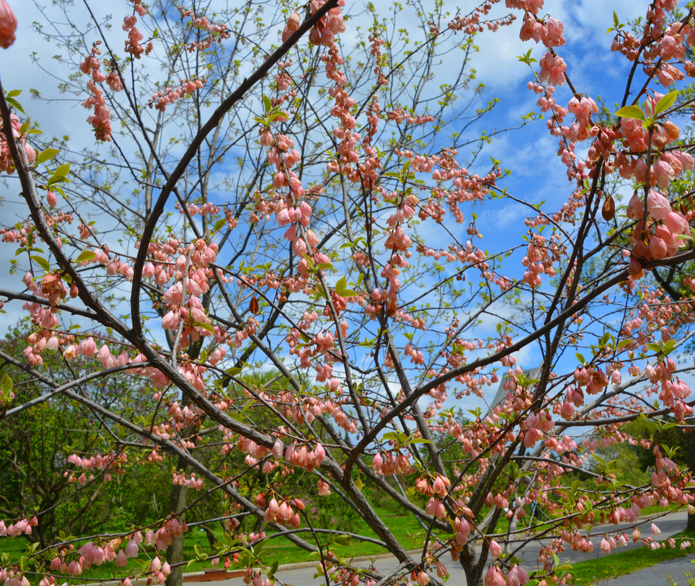 Halesia, snoeien in juni