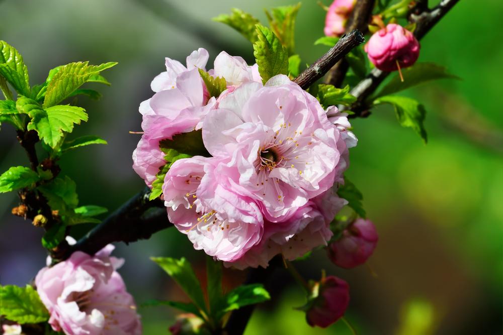 Prunus triloba, snoeien in juni