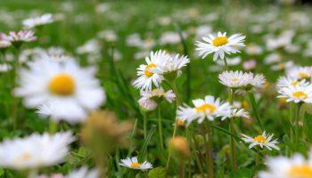 tuinkalender, maart, madeliefjes, tuinklusjes