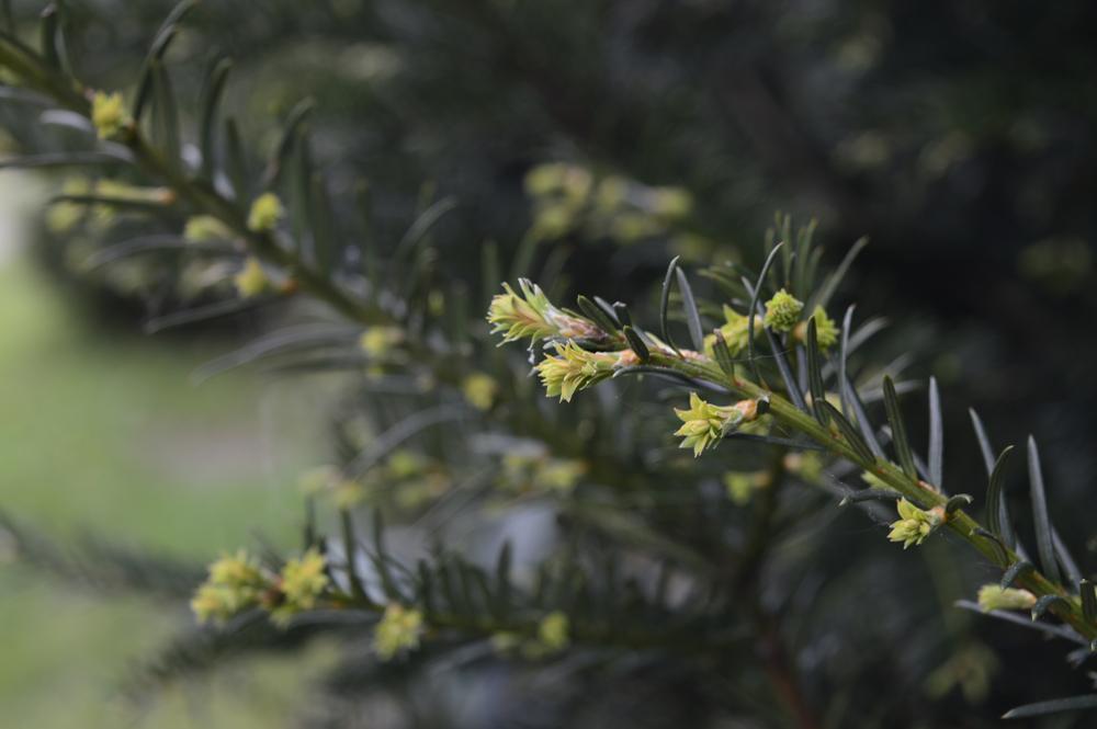 Juniperus squamata, balkon of terras, tuinen.nl