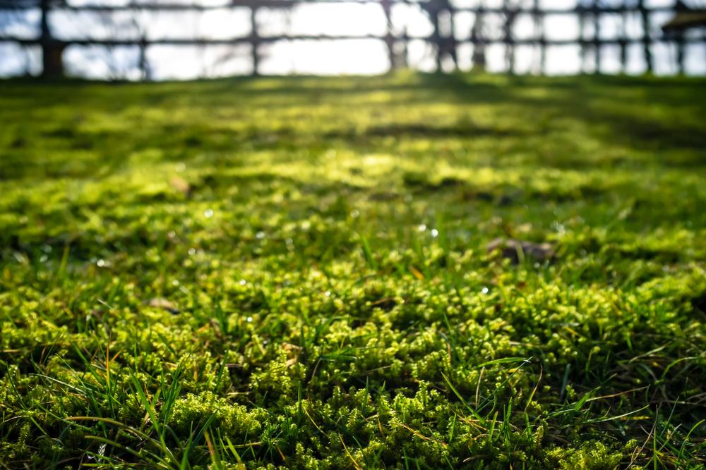 mos, gazon, mosvorming, tuinen.nl, mos in het gazon