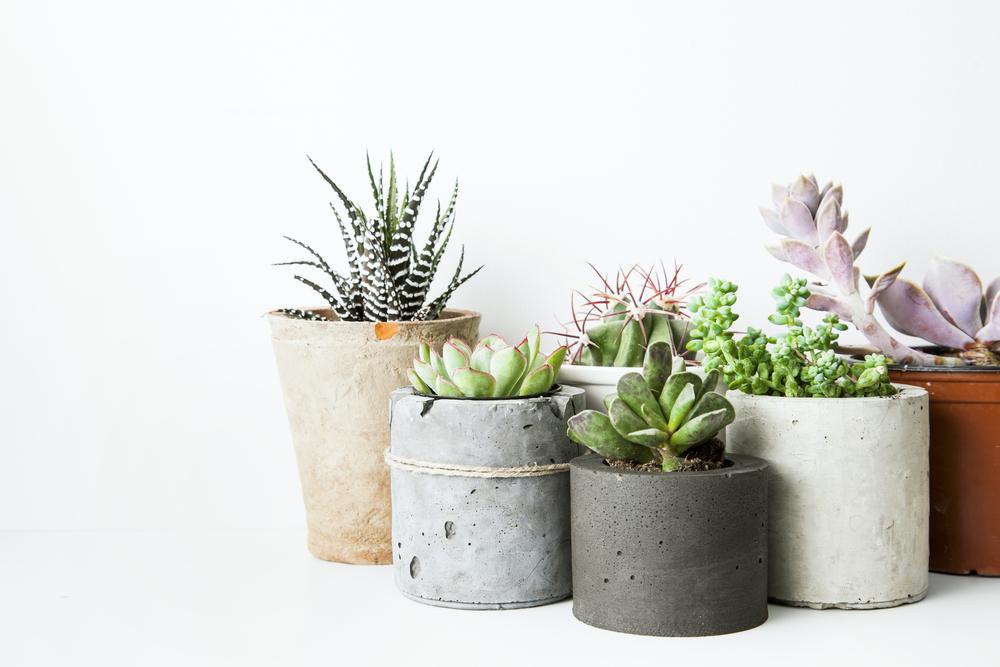 Succulenten, cactus, vetplant, Succulent, tuinen.nl