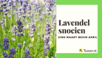 Video lavendel snoeien in maart en augustus