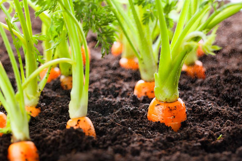 wortelen, zelf kweken, tuin