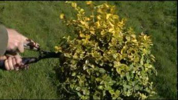 Video bontbladige op stam snoeien in mei en juni
