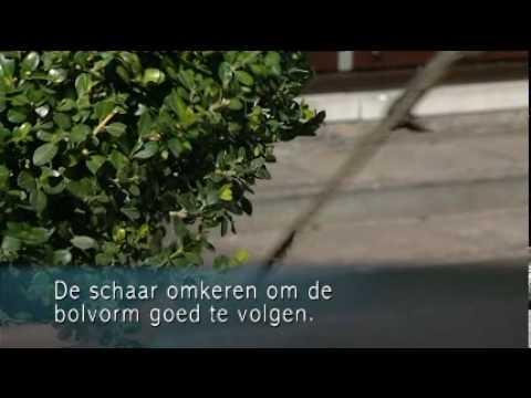 Video buxus snoeien in mei en juni