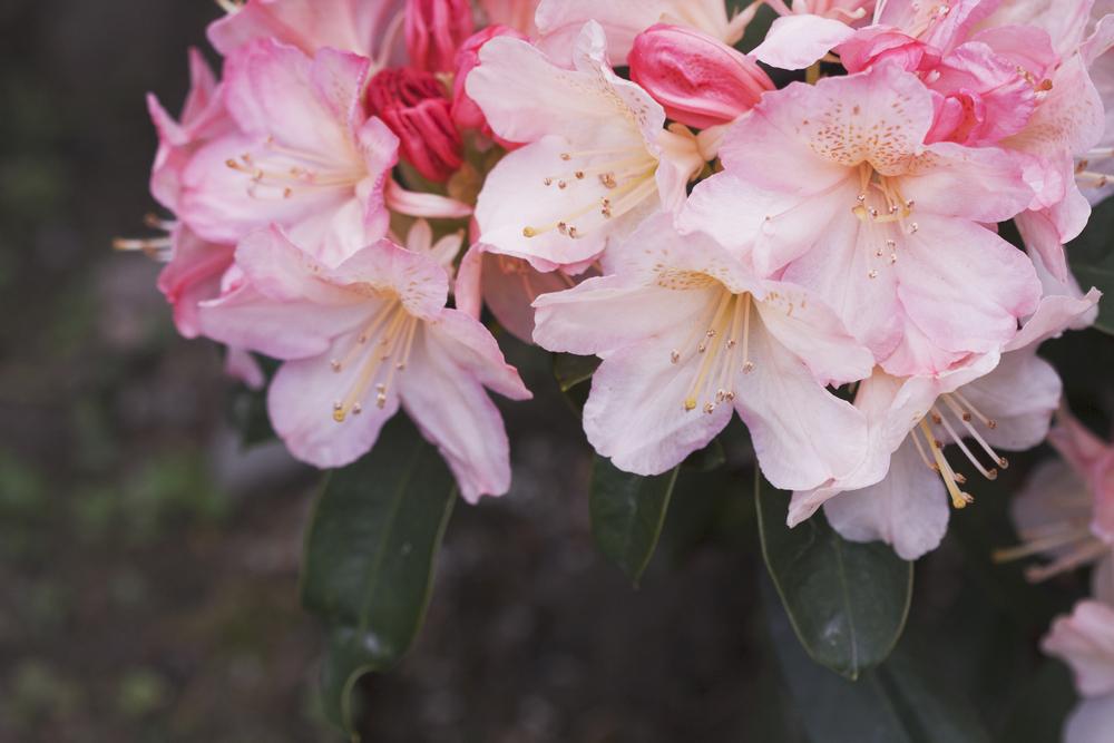 rododendron 'Percy Wiseman', balkon of terras, tuinen.nl