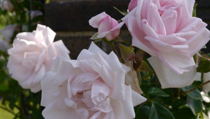 Succes met rozen