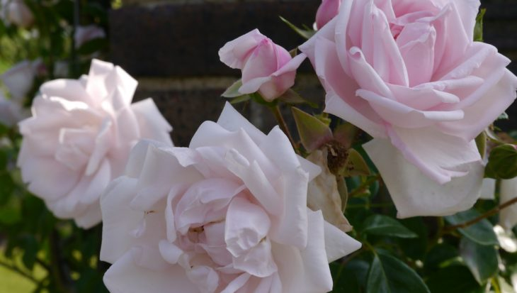 Welke roos past bij jou?