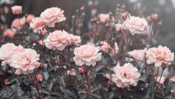 Wat zijn grootbloemige rozen?