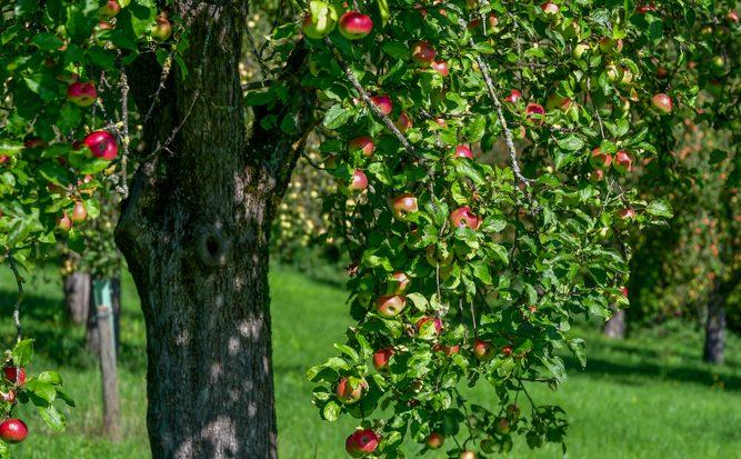 Verschillende eigenschappen van de appel