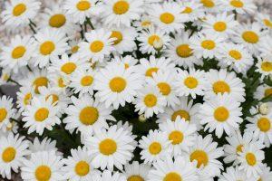 madeliefjes, wit, geel, lente, zomer
