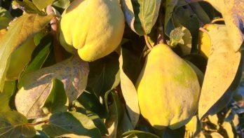 Ouderwetse fruitsoorten