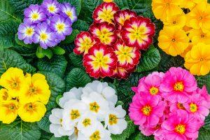 primula, bloemen, lente, zomer
