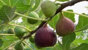 Fruit voor warme plaatsen in de tuin