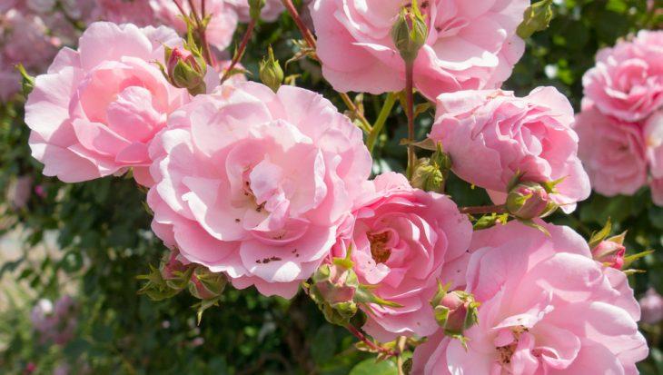 Sfeer in elke tuin met rozen