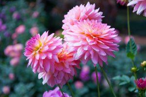 dahlia, zomer, bloem
