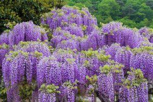 wisteria, klimplant