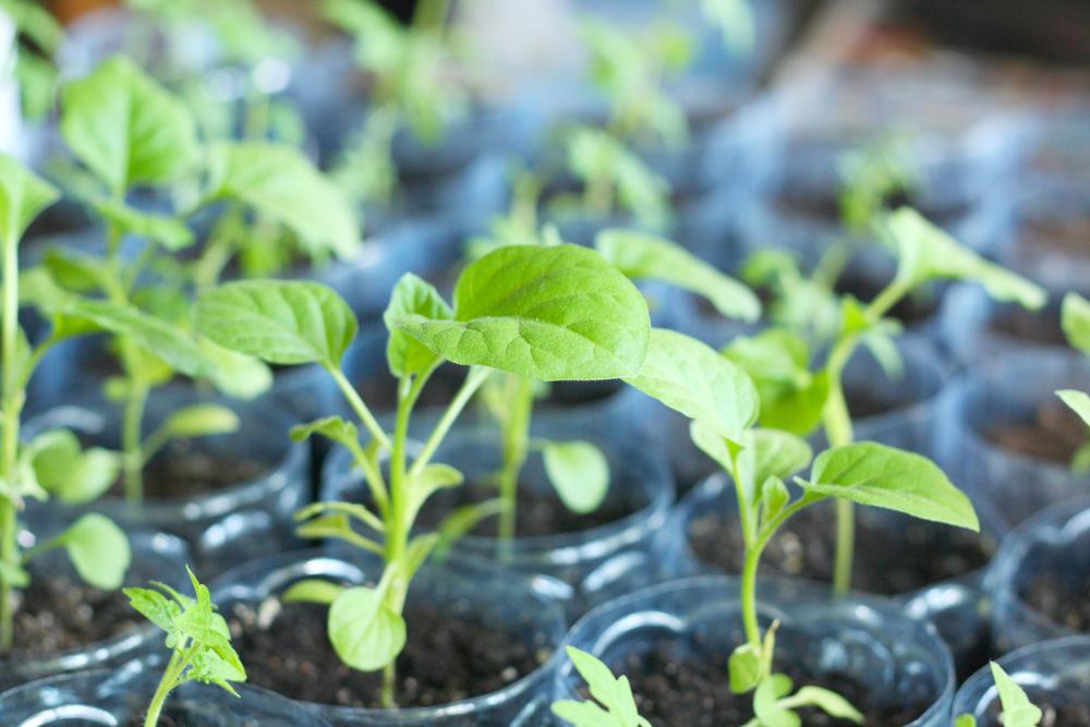 aubergine, zaaien, zelf kweken, moestuin