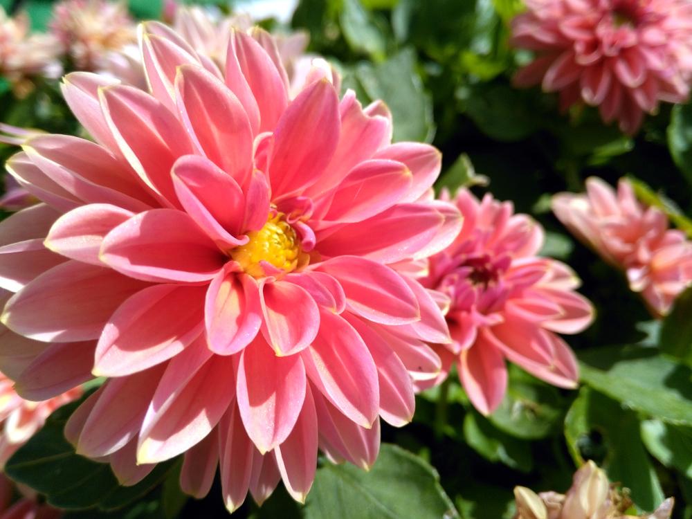 dahlia, zomerbollen, planten, zomer, bloembollen, tuinen.nl