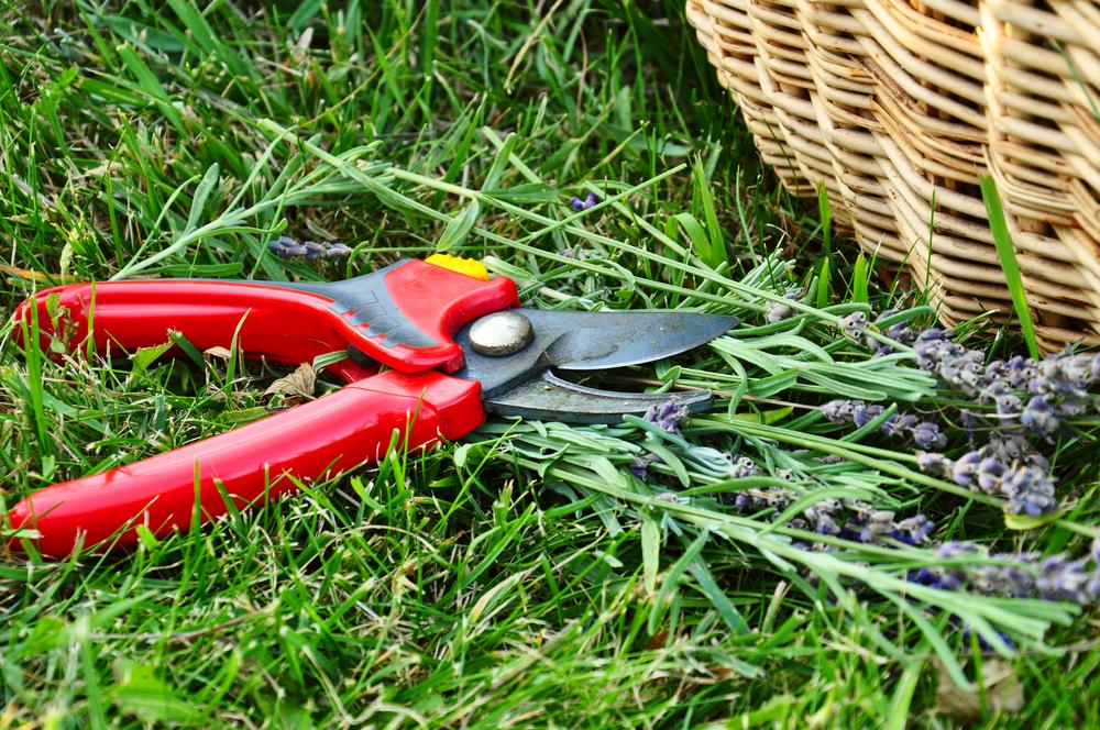 Lavendel snoeien, Snoeien, wanneer, tuinen.nl