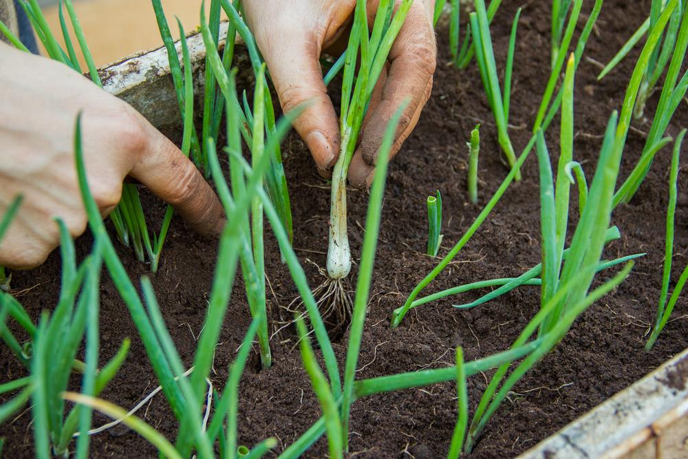 prei kweken, zaaien, oogsten, moestuin, tuinen.nl