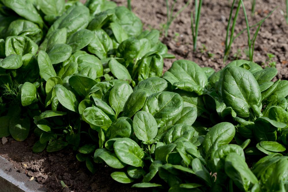 Spinazie, kweken, oogsten, zaaien,