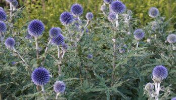 Vaste planten voor de snij
