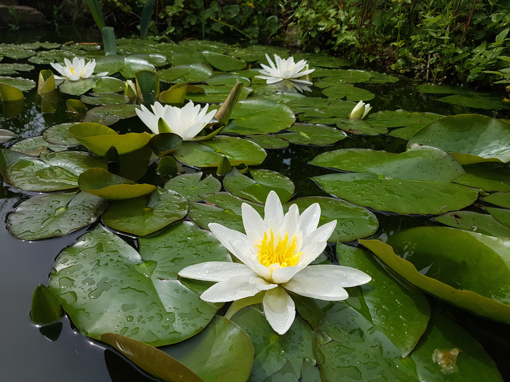 Waterlelie, tuinen.nl