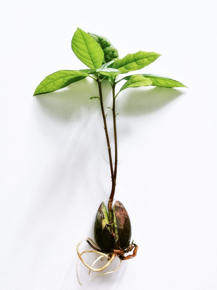 kweek je eigen avocadoboom - tuinen.nl